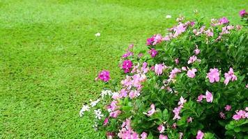 rosa-weißes Madagasca-Immergrün, rosafarbenes Immergrün und grünes Gras im Garten video