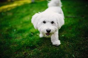 Fluffy Maltese mix on the grass. white dog playing in garden with green grass photo