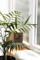 Fresh green plant with thin leaves in a vase on the white windowsill. home comfort. selective focus photo