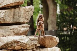 dos monos enamorados en las piedras, lopburi. los titíes tienen relaciones sexuales en la naturaleza. mono en el zoológico foto