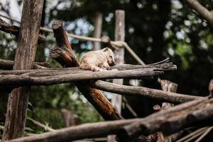 Lindo animal exótico descansando sobre barras de madera en el parque natural foto