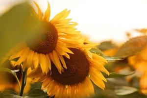 Sunflower natural background photo