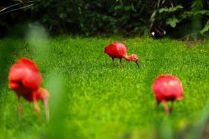 Ibis rojo sobre fondo verde césped natural foto
