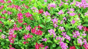 rosarotes Madagasca-Immergrün, Rosen-Immergrün und grüne Blätter im Garten video