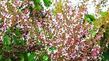Queen crepe myrtle, orgullo de la india flor florecen en el jardín en otoño video