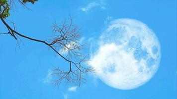 full moon back dry branches are swaying in the wind. and a thin white cloud was moving through the blue sky video