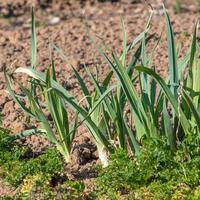 Leeks and parsley grow in a fresh garden bed photo