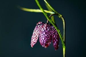 ajedrez flor naturaleza muerta foto