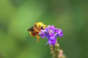 Bee on lavender photo