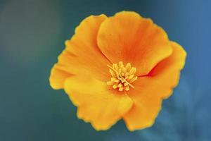California poppy flower photo