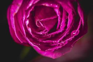 Pink camellia flower photo