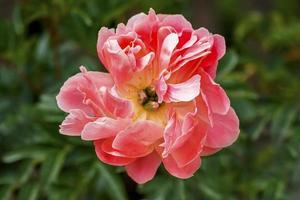 Pink peony closeup photo