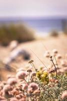 Coastal dune flowers photo