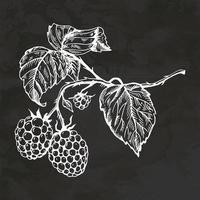 Raspberry Hand Drawn Retro Style Sketch Vintage Illustration Vector