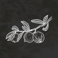 psidium guayaba dibujado a mano estilo retro boceto vintage ilustración vector