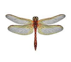 libélula de un toque de acuarela, dibujo coloreado, realista. ilustración vectorial de pinturas vector