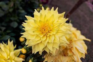 Close-up of a beautiful yellow dahlia flower bloom in the garden. photo