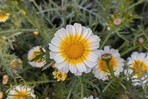 Close-up of a beautiful yellow white crown daisy flower with green leaves bloom in the garden. photo