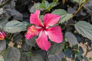 Close-up of a beautiful pink hibiscus flower with green leaves bloom in the garden. photo
