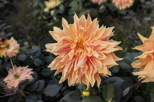 Close-up of a beautiful orange dahlia flower bloom in the garden. photo