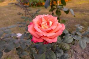 Close-up of a beautiful orange rose flower with green leaves bloom in the garden. photo