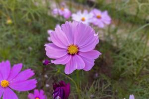 Close-up of a beautiful pink cosmos flower bloom in the garden. photo