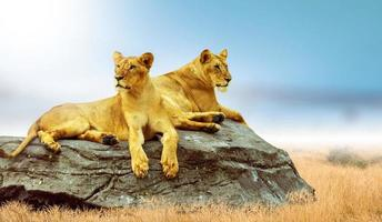 The male lion is on a rock in a vast grassland. Protecting wildlife photo
