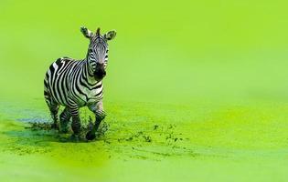 la cebra corría graciosamente corriendo en el agua verde foto