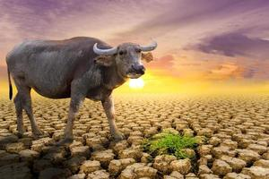 The concept of natural drought of the environment on Earth  causes animals  buffalo  lacking food, dry soil, soil, background, soil surface with soil erosion photo