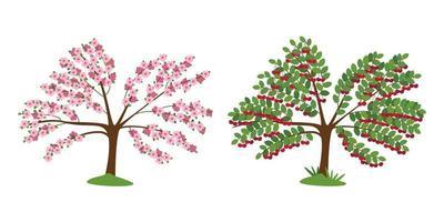 Cerezo en flor y con bayas maduras aislado en blanco vector