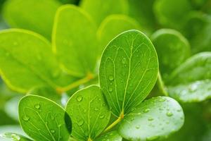 Water on leave background, Green leaf nature photo