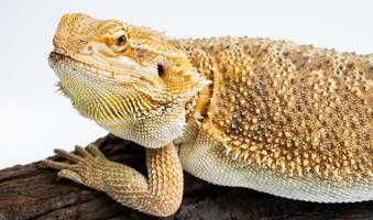 Bearded dragon on white background photo