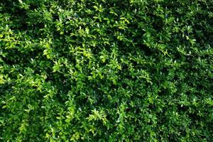 Green leaves wall background, leaf wall nature background photo