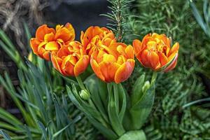Tulipanes de color amarillo-rojo en un parterre en el jardín foto