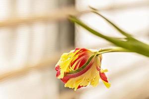 Tulipán amarillo-rojo en un jarrón en el jardín foto