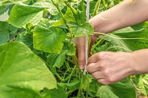 Mano de mujer atando pepinos en el jardín. foto