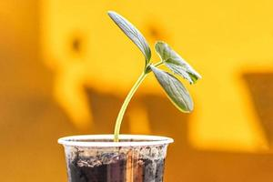 cultivo de plántulas de pepino jóvenes en tazas foto