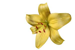 Yellow lily flower Isolated on a white background. Yellow Lily flower texture with drops of water. Floral macro photography. photo