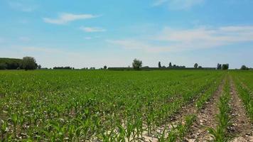 campo di grano verde video