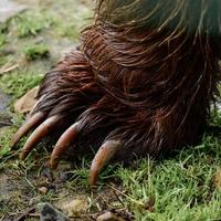 pata de oso de cerca, garras de un depredador del bosque, pata de oso con garras. foto