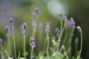 Nice lavender flowers photo