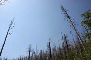Stately view of trees of charred trees reclaiming the Gila National Forest after a fire photo