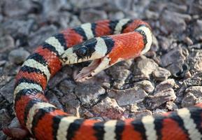 Close up of vibrant king snake with open jaw photo