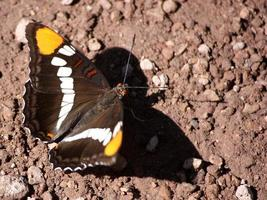 California Sister Butterfly with prismatic brown eyes and open wings photo