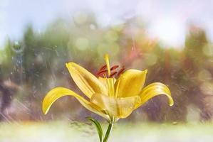 Lily flower, close-up photography. Yellow Lily flower texture with drops of water. Floral macro photography. photo