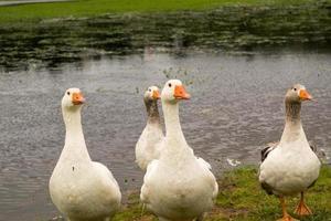 Four geese Alert photo