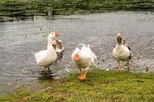 The goose atack photo