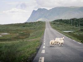 White animals on road photo
