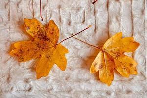 Yellow tree leaf in autumn season photo