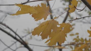 yellow maple leaves develop in the wind video
